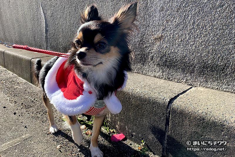 クリスマスの服を着て散歩するチワワ