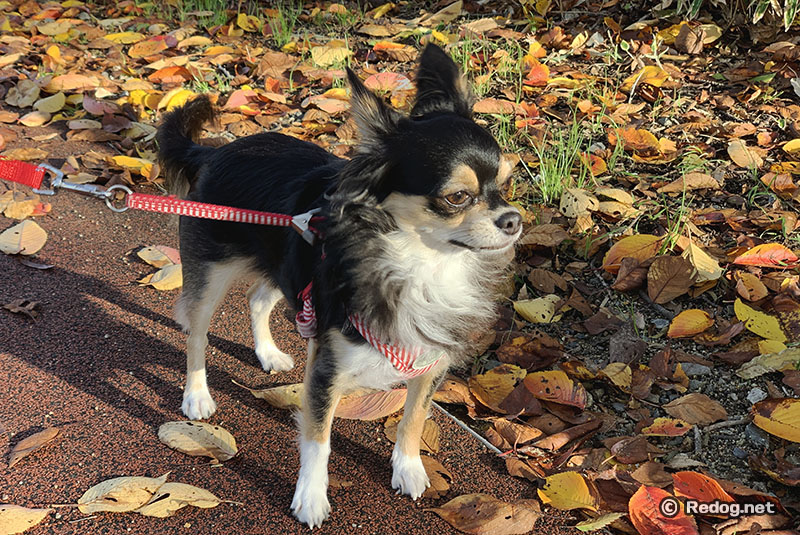 紅葉を散歩するチワワ