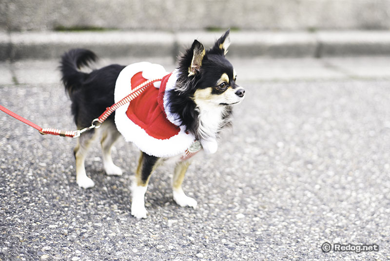 クリスマスイヴに散歩するチワワ